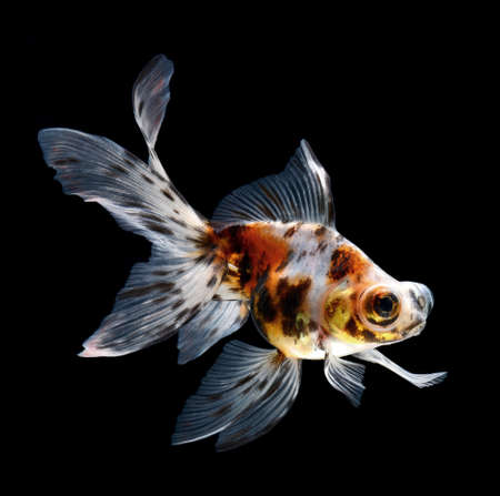 exotic butterflies: goldfish isolated on black background  Stock Photo