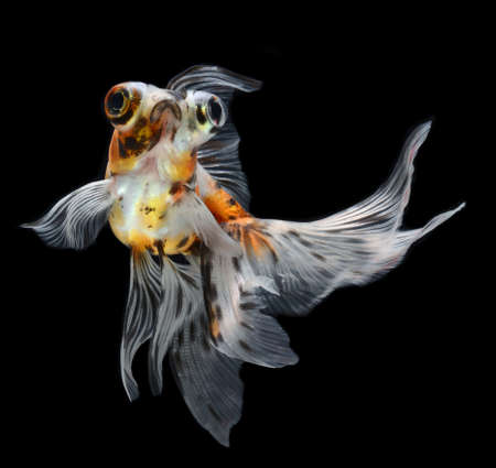 exotic pet: goldfish isolated on black background  Stock Photo