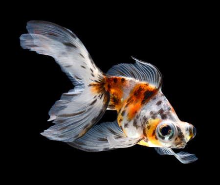 goldfish isolated on black background Stock Photo - 15878142
