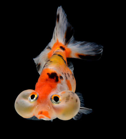 bubble balloon goldfish isolated on black background Stock Photo - 15877802