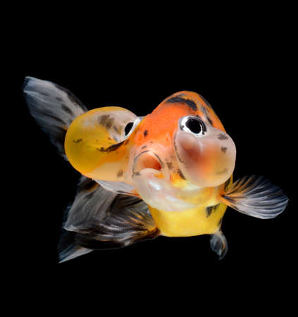 bubble balloon goldfish isolated on black background photo
