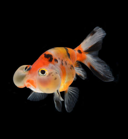bubble balloon goldfish isolated on black background Stock Photo - 15877798