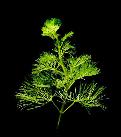 water thyme: agua de la planta Foto de archivo