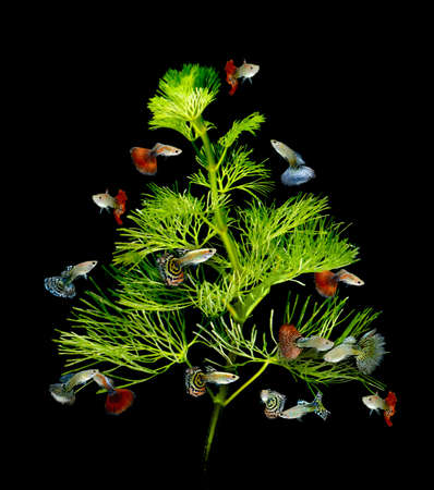 tank fish: christmas tree underwater concept with guppy fish ornament on black background