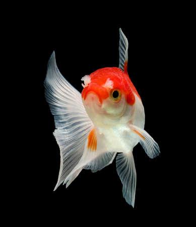 oranda: pesci rossi fantasia isolato su sfondo nero
