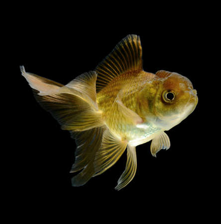 jelly head: goldfish isolated on black background