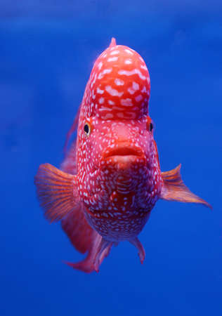 aquarium fish, flower horn cichlid fish on blue screen Stock Photo - 16452934