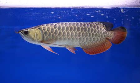 arowana fish, pet Stock Photo - 16452947