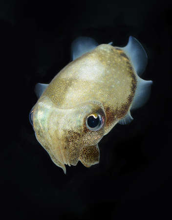 Spinesless cuttlefish, sepiella inermis photo