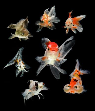 aquarium hobby: goldfish isolated on black background