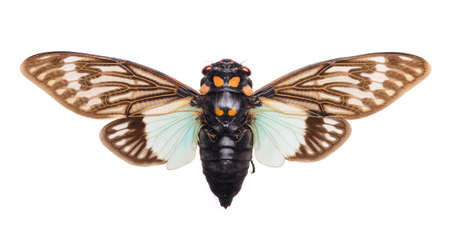Green and brown cicada Tosena splendida on white background isolated