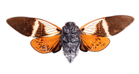 cicada isolated on white background, Anganiana flordula Stock Photo - 17509841