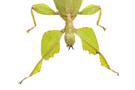 leaf mantis isolated on white background Stock Photo - 17509829