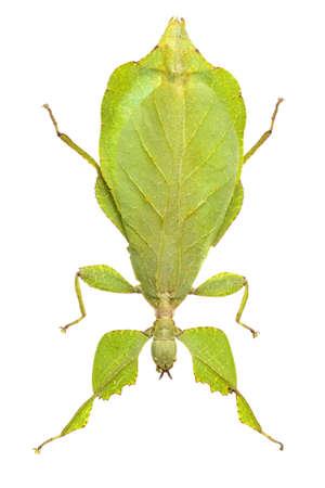 leaf mantis isolated on white background