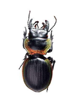 jewelry beetle, Mouhotia batesi Lewis isolated on white Stock Photo - 17509832