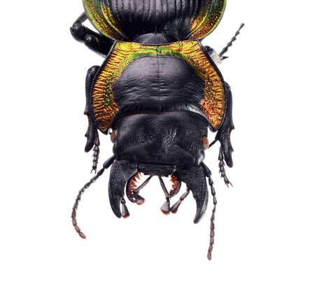 jewelry beetle, Mouhotia batesi Lewis isolated on white Stock Photo - 17509828