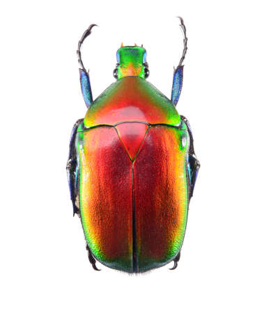 jewelry beetle, Torynorrhina flammea isolated on white background Stock Photo - 17509831