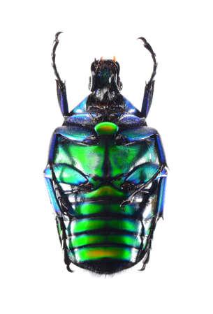 jewelry beetle, Torynorrhina flammea isolated on white background Stock Photo - 17509830