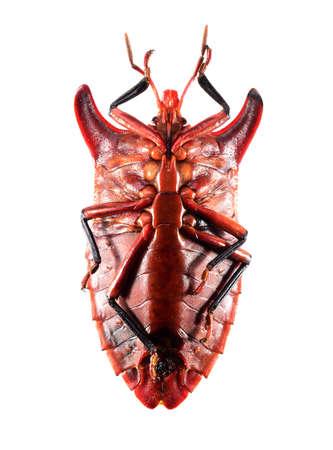 insect, eurypleura bicornis bug isolated on white background Stock Photo - 17509835