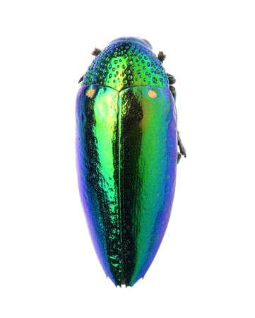 jewelry beetle, Sterocera acquisignata Saunders isolated on white Stock Photo - 17509827