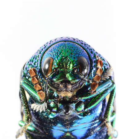 jewelry beetle, Sterocera acquisignata Saunders isolated on white Stock Photo - 17509836