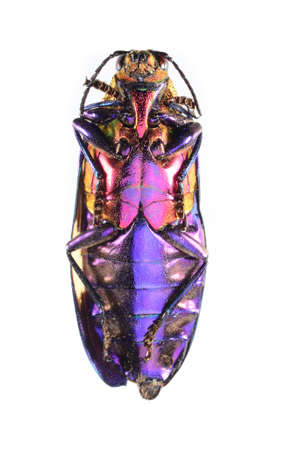 beetle, metallic wood-boring beetle, buprestidae isolated on white Stock Photo - 17509837
