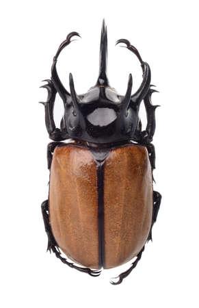 insect, Eupatorus gracilicornis beetle isolated on white Stock Photo - 17509840