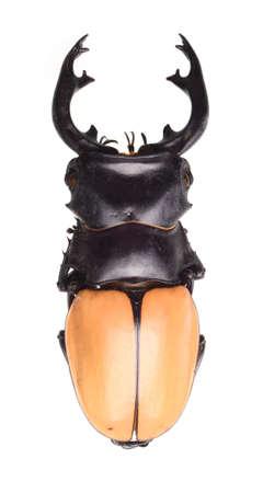 Odontolabis mouhotii parry beetle bug isolated on white Stock Photo - 17509833