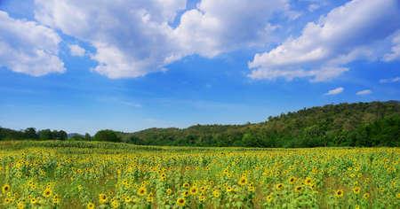sunflower field in summer Stock Photo