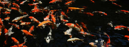 fancy carp fish in pool photo