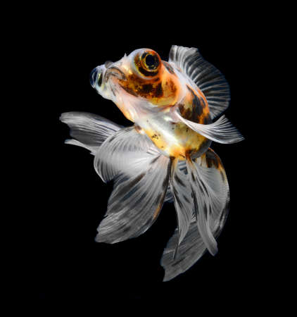goldfish isolated on black background Stock Photo - 18001171