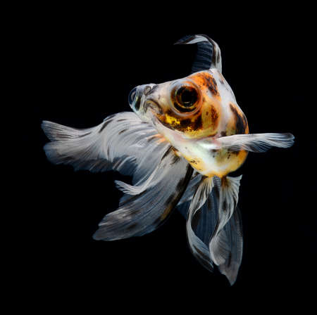 goldfish isolated on black background Stock Photo - 18001207