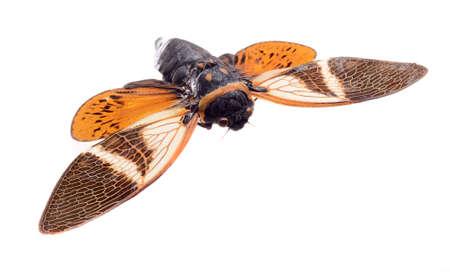 cicada bug: cicada isolated on white background, Anganiana flordula