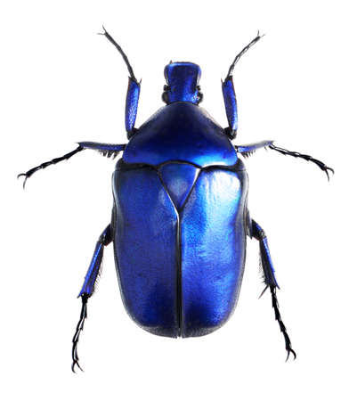 escarabajo: escarabajo joyas, Torynorrhina flammea aislado sobre fondo blanco