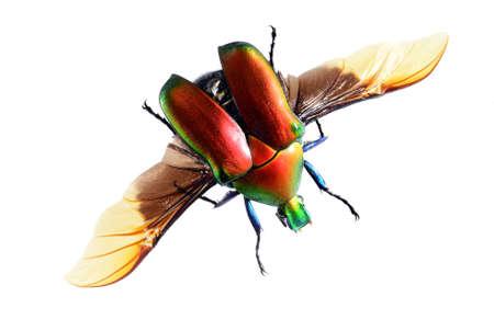 escarabajo: bug escarabajo volador, Torynorrhina flammea aislado sobre fondo blanco Foto de archivo