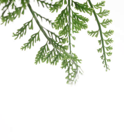 fern leaves isolated on white background Stock Photo - 18047283