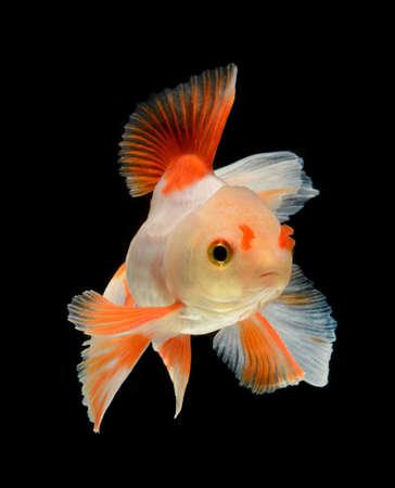 pez dorado: pez de colores aislados sobre fondo negro Foto de archivo