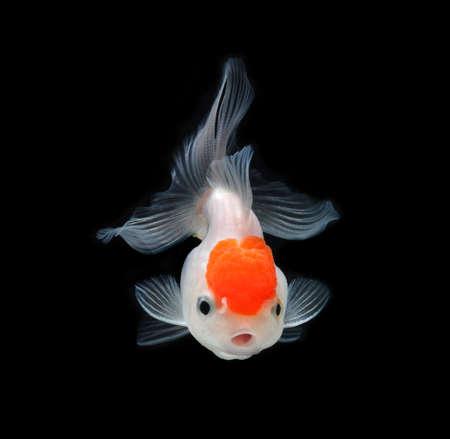 jelly head: goldfish on black background