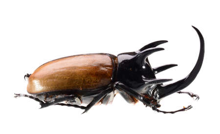rhino beetle, Eupatorus gracilicornis beetle isolated on white Stock Photo - 18334146