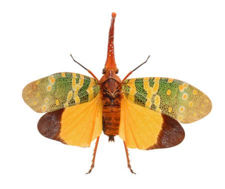 Lanternflies, FULGORID PLANTHOPPERS ,Lantern Bugs isolated on white background Stock Photo - 18334153