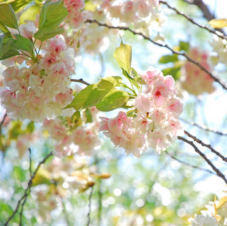 sakura, cherry blossom in spring Stock Photo - 18334778