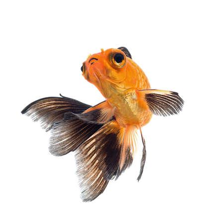 goldfish isolated on white background Stock Photo - 18334151
