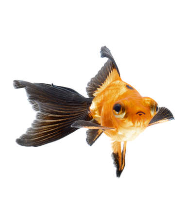 goldfish isolated on white background Stock Photo - 18334144