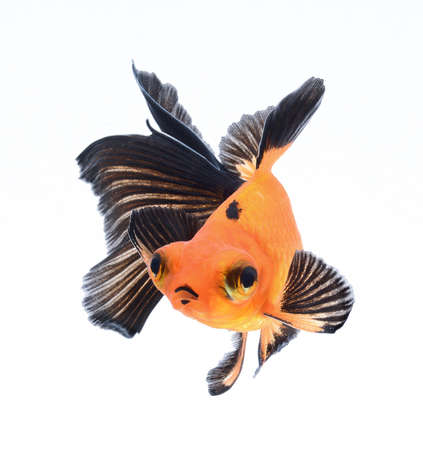 goldfish isolated on white background Stock Photo - 18334784