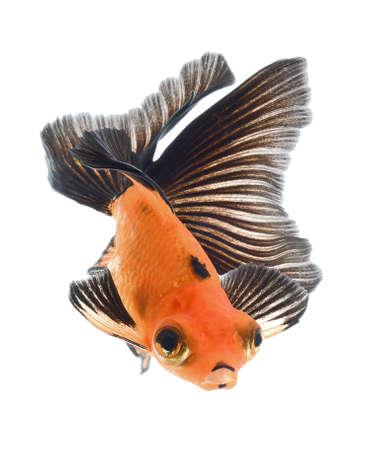 goldfish isolated on white background Stock Photo - 18334798