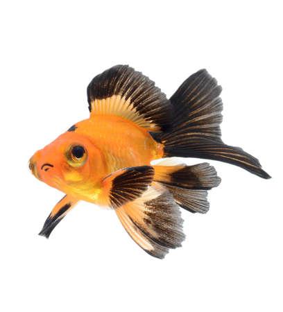 goldfish isolated on white background Stock Photo - 18334139