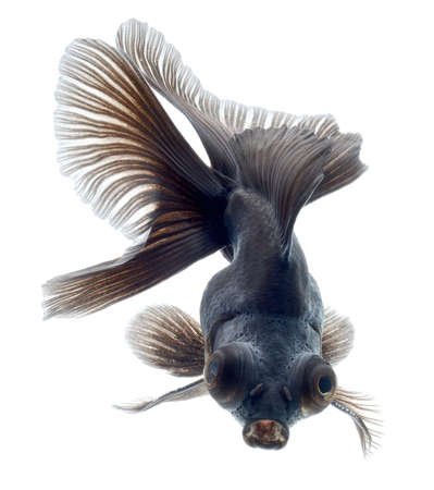 BLACK goldfish isolated on white background Stock Photo - 18334782