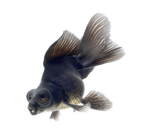 BLACK goldfish isolated on white background Stock Photo - 18334789