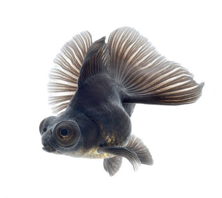 BLACK goldfish isolated on white background Stock Photo - 18334154