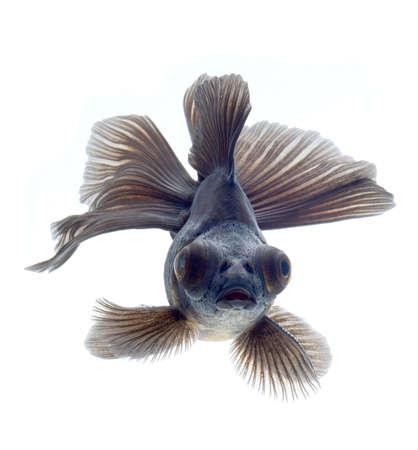 BLACK goldfish isolated on white background Stock Photo - 18334788